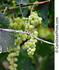 ripe grape fruits hanging on a branch