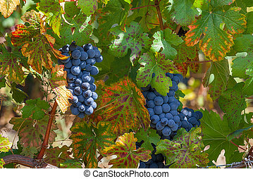 Ripe grapes among green leaves.