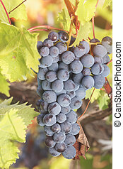 Ripe grapes hanging on vine in sunl
