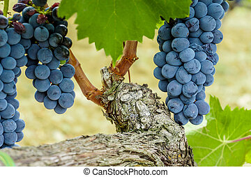 Ripe grapes in fall. autumn harvest.