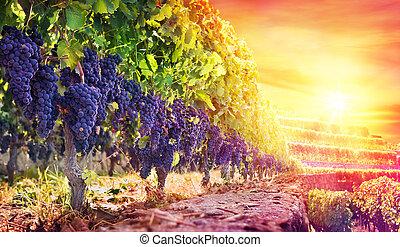 Ripe Grapes In Vineyard At Sunset - Harvest