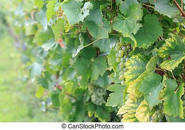 Ripe grapes on a vine in Austria