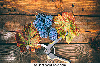 ripe grapes on autumn harvest, isolated on wooden background with leaves and scissors