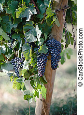 Ripe grapes on branch