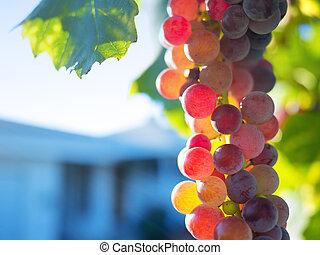 Ripe grapes on grapevine