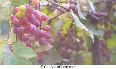 Ripe grapes on the plantation