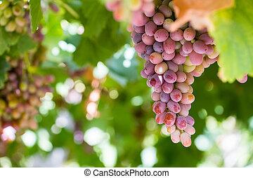 ripe grapes on vineyard