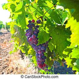 Ripe grapes