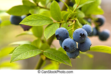 great bilberry - ripe great bilberryin the garden