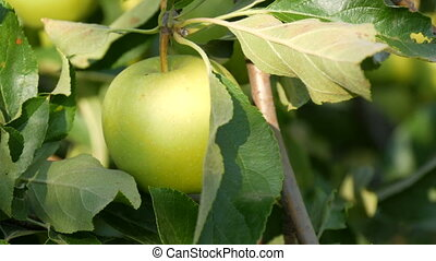 Ripe green apple hanging on branch in the garden