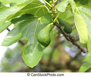 ripe green fig fruit with leaves on the tree