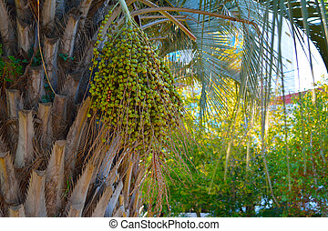 green fruit on the palm, in a bundle