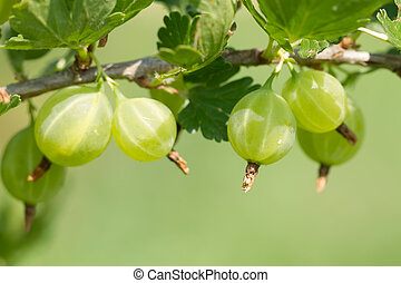 ripe green gooseberries on a branch