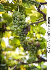 Ripe green grapes