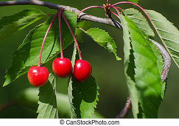 Ripe growing cherries