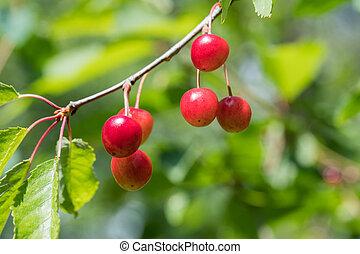 Ripe growing cherries