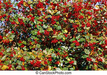 Ripe hawthorn on a background of yellowing leaves