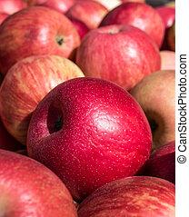 Ripe Honey Crisp Apples - Closeup of freshly harvested honey...
