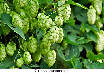 Ripe Hop - Agriculture Background - crop of fresh ripe hop.