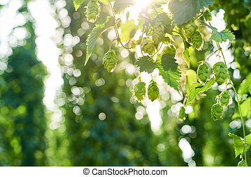 Ripe hop cones in the field