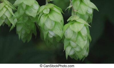 Ripe hop cones in the hop garden
