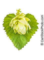 ripe hop cones