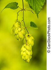 ripe hop cones, spice for beer and medicinal herb