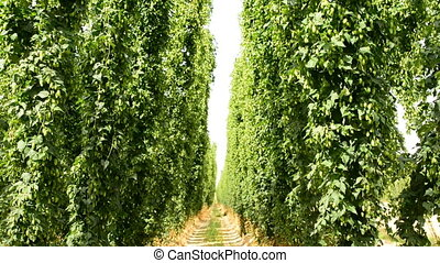 Ripe hop plants growing in the hop field on poles, slightly...