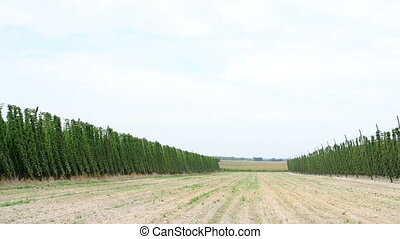 Ripe hop plants growing in the hop field - Walking along the...