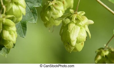 ripe hop