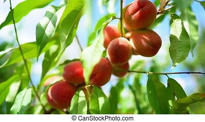 Ripe juicy peaches in sunlight. Branch of tree in fruit ...