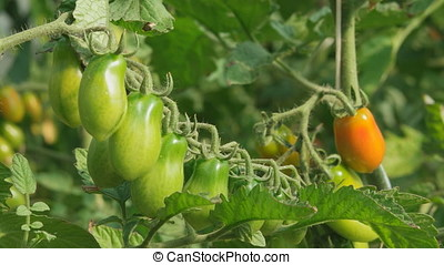 Ripe juicy tomatoes growing in the greenhouse. Static 4K UHD...