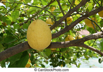Ripe lemon fruit between branches and leaves