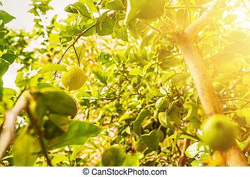 ripe lemon fruit on lemon tree