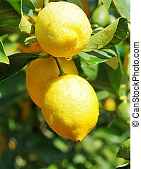 ripe lemons hanging on a tree