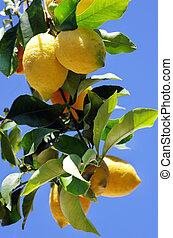 Ripe lemons on blue sky background
