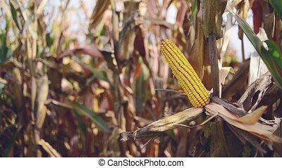 Ripe maize corn on the cob - Ripe maize on the cob in...