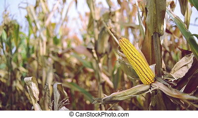 Ripe maize on the corn cob - Ripe maize on the cob in...