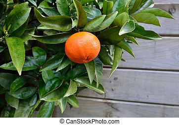 Mandarin orange - Ripe Mandarin orange hanging on citrus...