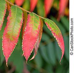 ripe mountain ash leaves