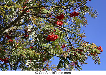 Ripe mountain ash on branches