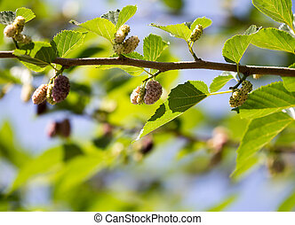 ripe mulberry berry on the branches of a tree