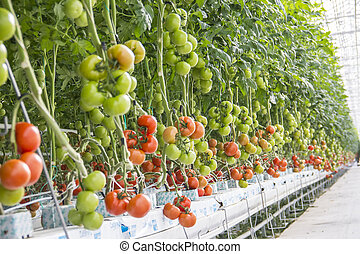 Ripe natural tomatoes growing in greenhouse