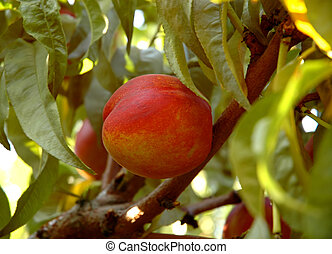 Close-up view of a ripe nectarine on a tree branch