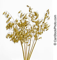 Ripe oat spikes isolated in white