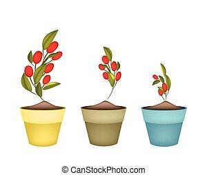 Ripe Olives on Branch in Ceramic Flower Pots