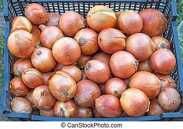 Ripe onions in a box