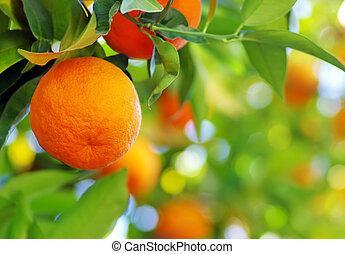Ripe orange fruit on a tree