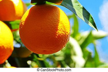 Ripe orange hanging on a branch