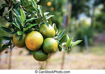 Ripe orange on tree.